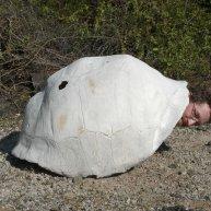 Hendry as tortoise