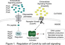 Figure 1. Regulation of ComA by cell-cell signaling