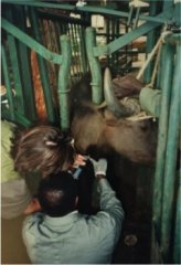 Dr. Samuel Black and a veterinary technician collecting a blood sample from a trypanosome-infected Cape buffalo to assay trypanosome-specific antibodies in serum. Photo courtesy UMass Amherst