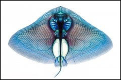 Butterfly Ray