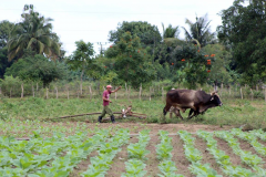 Ox power has yet to be replaced by fossil fuels in most of Cuba
