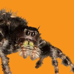 jumping_spider_Jakob