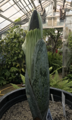 Amorphophallus titanum UMass Morrill Science Greenhouse 2019 - Photo by Madelaine Bartlett