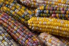 Smarty Plants: Maize