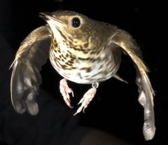 A Swainson's thrush in the wind tunnel at the Advanced Facility for Avian Research at Western University in London, Ontario. Photo courtesy of University of Western Ontario/Brock Fenton.