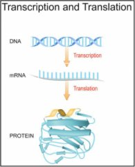 DNA, RNA, and protein synthesis. Credit: ttsz/Getty Images