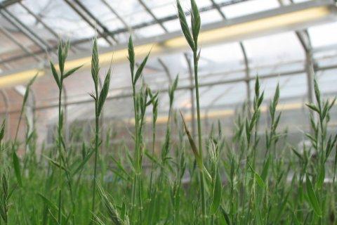 greenhouse brachypodium